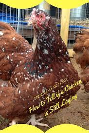 Backyard Chicken Raising by 286 Best Raising Chickens Images On Pinterest Raising Chickens