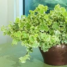 ivy plants i think i u0027ve just found the name of mine jessica ivy