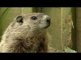 groundhog video ground hogs cute