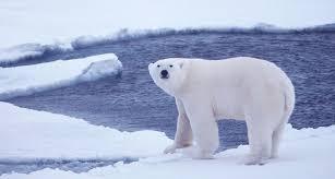 polar bears u0027 u0027walking hibernation u0027 energy saver