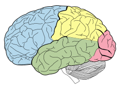 Anterior Association Area Cerebral Cortex Wikipedia