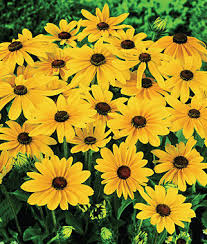indian summer rudbeckia seeds and plants annual flower garden at