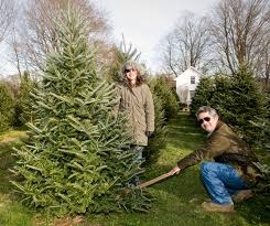 skip the lot u2014 cut down your own christmas tree new york post
