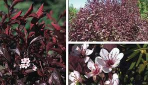 Shrub With Fragrant Purple Flowers - jim whiting nursery and garden center in rochester mn