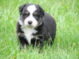 australian shepherd indiana australian shepherd puppies in kentucky
