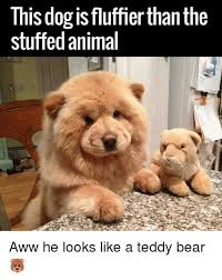 Bear Stuff Meme - this dog is fluffierthanthe stuffed animal aww he looks like a teddy