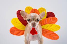 feeding dogs thanksgiving turkey yea or nay petnet