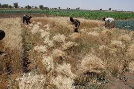 breeding resilient crops future icarda international
