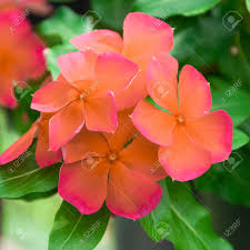 vinca flowers beautiful vinca flowers madagascar periwinkle stock photo