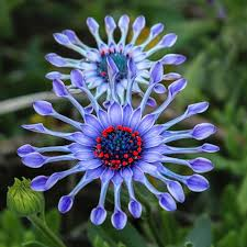 50pcs blue plants flower seeds ornamental