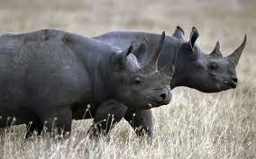 rhinoceros wallpaper 43100 1680x1050 px hdwallsource com