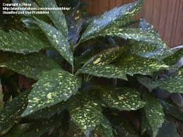 plantfiles pictures gold dust plant variegated japanese aucuba
