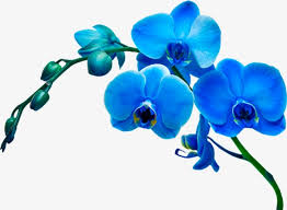 flower orchid blue orchid flowers squid orchid blue orchid png image and