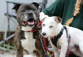 jack russell american pitbull terrier mix abandoned blind jack russell and his staffy guide dog need forever