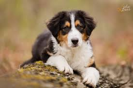 australian shepherd vomiting diseases and defects asca
