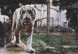 harimau putih prabu siliwangi macanputih instagram photos and videos pictastar com