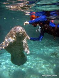 Washington snorkeling images Manatee springs state park permits diving with the animals please jpg