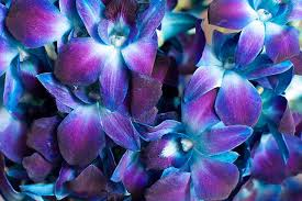 blue and purple orchids dyed blue dendrobium orchids dendrobium orchids orchid and weddings