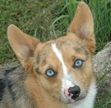 australian shepherd boxer mix 24 breeds that are mixed with corgi barkpost