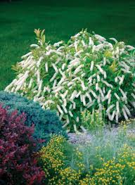 Plants For Dark Rooms by Little Henry Sweetspire Itea Virginica Proven Winners