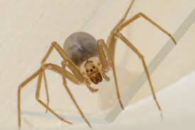 Brown Recluse Map Spiders