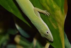 Seeking Lizard Review Research Methods Anole Annals