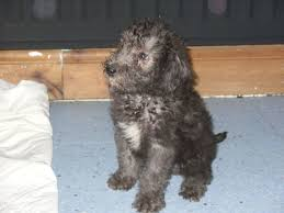 affenpinscher puppies cost bedlington terrier puppies images dog breeds puppies bedlington