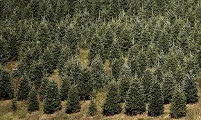 00a christmas tree farm west jefferon nc 24 11 12 voices from