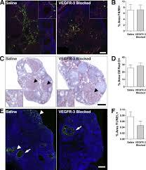 vegfr 3 neutralization inhibits ovarian lymphangiogenesis
