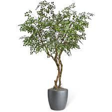 patrinia olive tree
