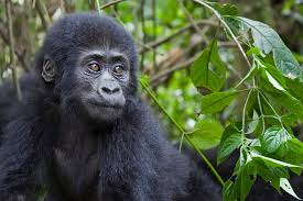 9 fun facts about gorillas care2 healthy living