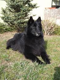 belgian sheepdog groenendael puppies for sale belgian shepherd dog groenendael belgian shepherd dog