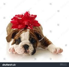 adorable english bulldog puppy red bow stock photo 57640159