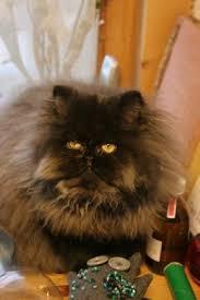 Persian Cat Meme - persian cat s fur only grew back weakly ask the cat doctor