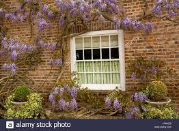 wisteria sinensis australian bush flower mauve wisteria plant stock photos u0026 mauve wisteria plant stock