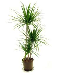 top house plants top indoor plants best air filters for homedragon tree top