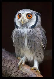 White Owl Meme - white faced scops owl meme faced best of the funny meme