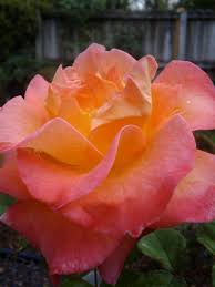 mardi gras roses mardi gras floribunda the rosarian