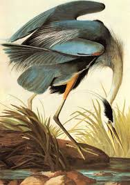 great blue heron by john james audubon 1827 exquisite i