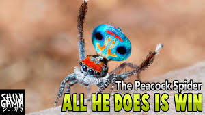 Peacock Meme - peacock spider all he does is win youtube