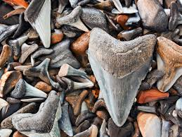 florida by water hunt for shark u0027s teeth national geographic