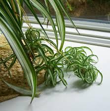 curly spider plant chlorophytum comosum 1 live plant