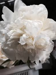 wholesale peonies wholesale white peony wedding flowers
