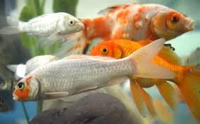 vet varsity promotes ornamental fish in punjab