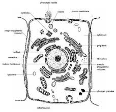 Anatomy And Physiology Cells And Tissues Anatomy And Physiology Of Animals The Cell Wikibooks Open Books
