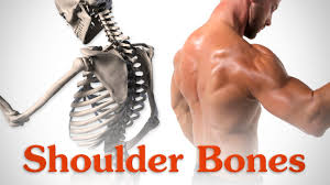 Anatomy Of The Shoulder Girdle Anatomy Of The Shoulder Bones Youtube
