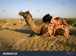 thar desert animals camel safari thar desert rajasthan india stock photo 7894702