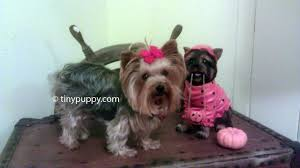stunning yorkie hair cuts yorkie haircuts and hairstyles tinypuppy