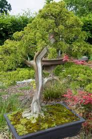 native plants of china members of the juniperus genus