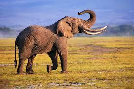 elephant wallpaper background windows